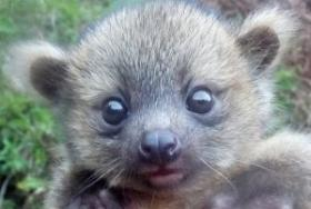 A picture of a baby olinguito.