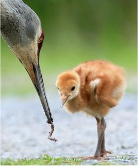 bird looks at worm from mothers beak