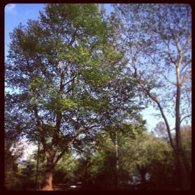 Trees in Chapel Hill,