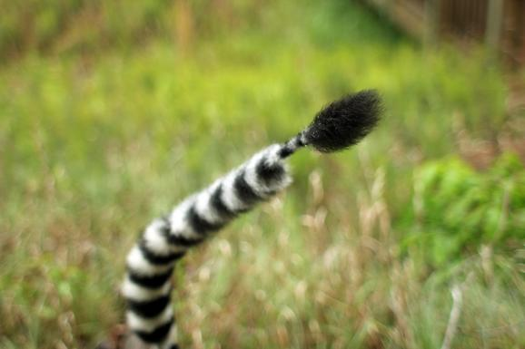 A lemur's tail, trimmed for identification, at the Duke Lemur Center.