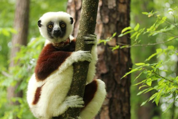 A Coquerel&#039;s Sifaka lemur at the Duke Lemur Center.