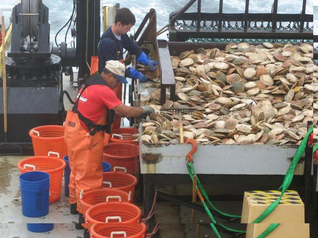 Sorting the sea scallop catch on the NC coast
