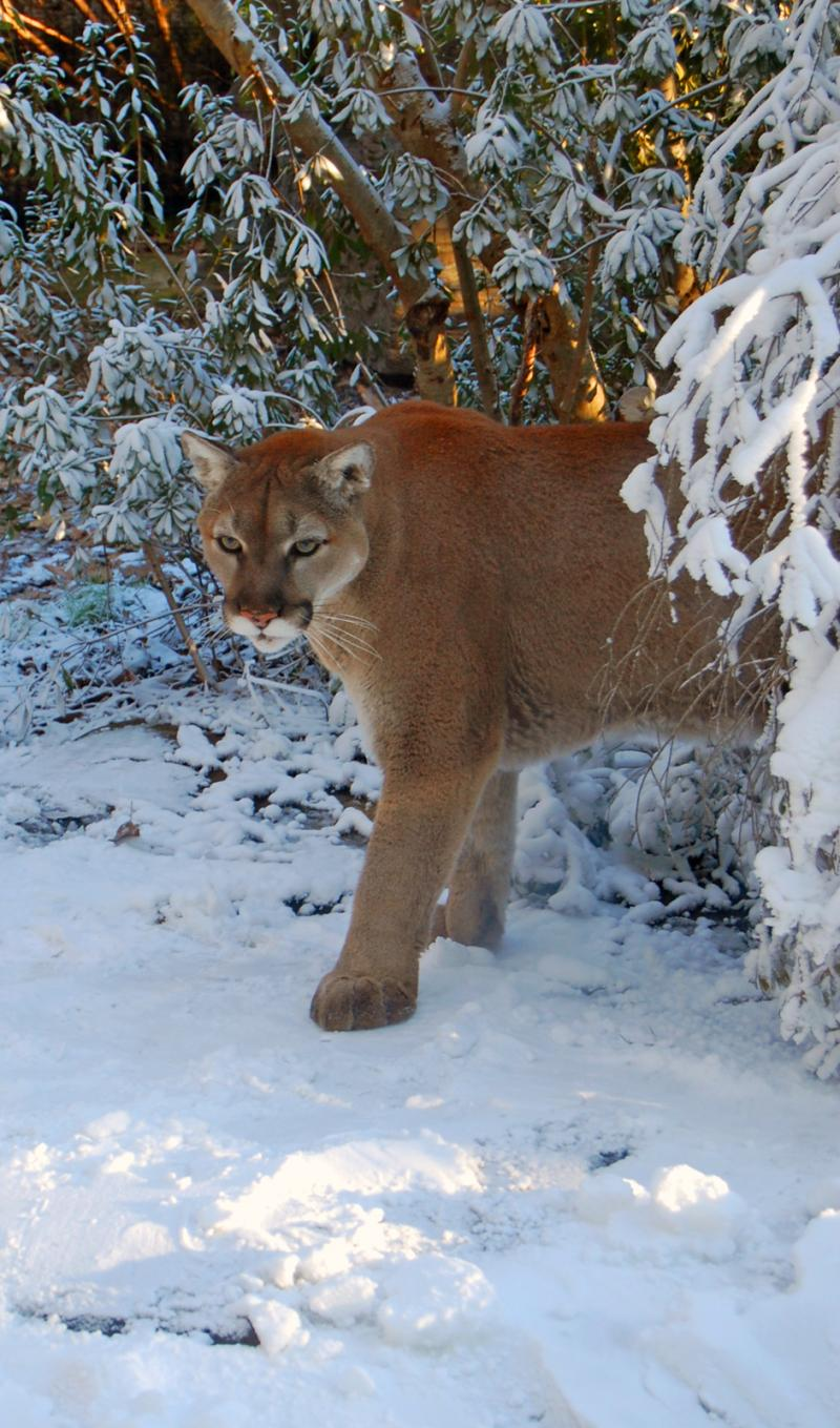 A cougar at the NC Zoo