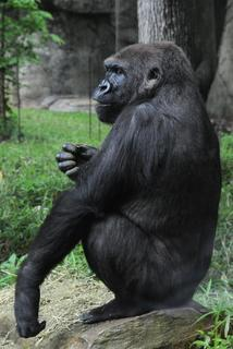 Jamani the gorilla from the NC Zoo