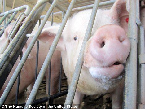 Smithfield Foods says it will stop using so-called ''gestation crates'' by 2017.