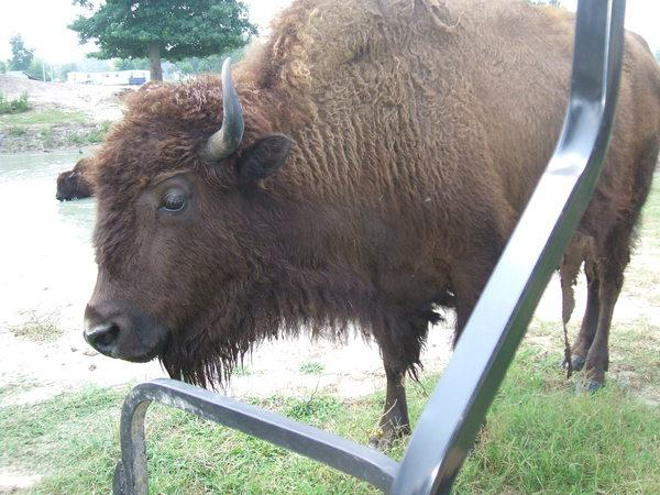 A bison on RG Hammonds' farm in Lumberton roams close to his golf cart