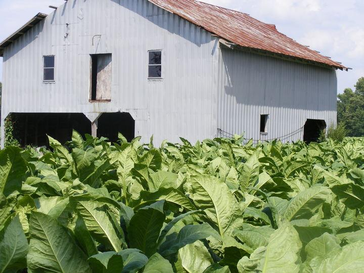Strickland Farms tobacco and house