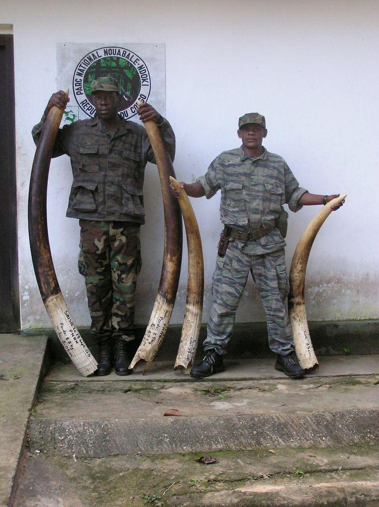Rangers display seized ivory tusks in the Nouaba`le – Ndoki National Park, Republic of Congo.