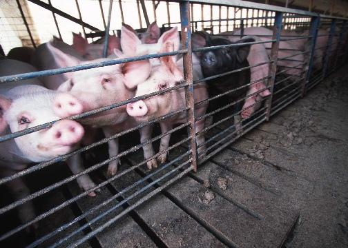 A hog farm in Lyons, Georgia.