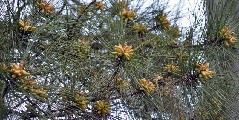 Catkins of pollen on a pine tree