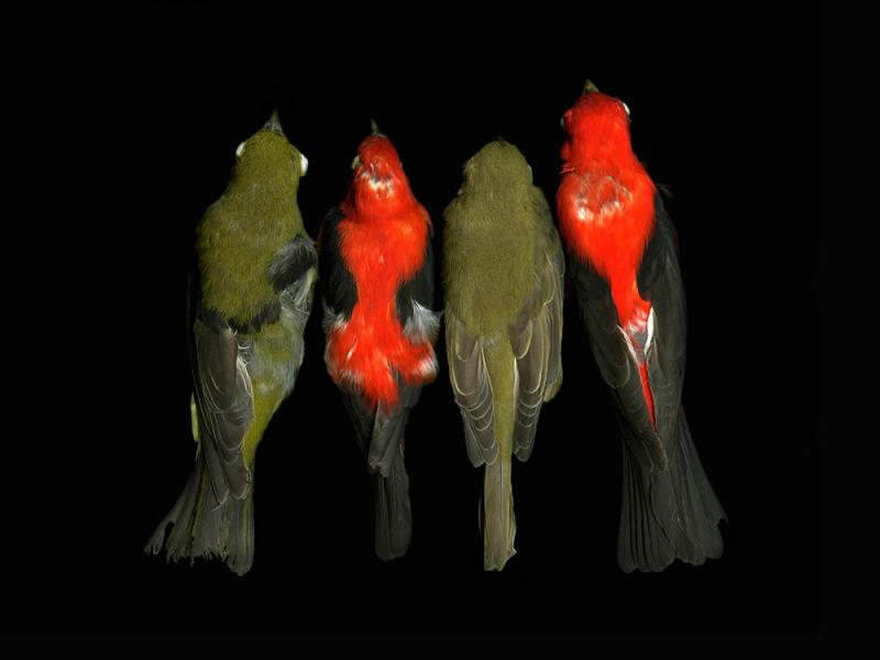 """Photo featured in """"Lost and Found"""" -- from  NC Museum of Natural Sciences collection-Piranga olivacea"""