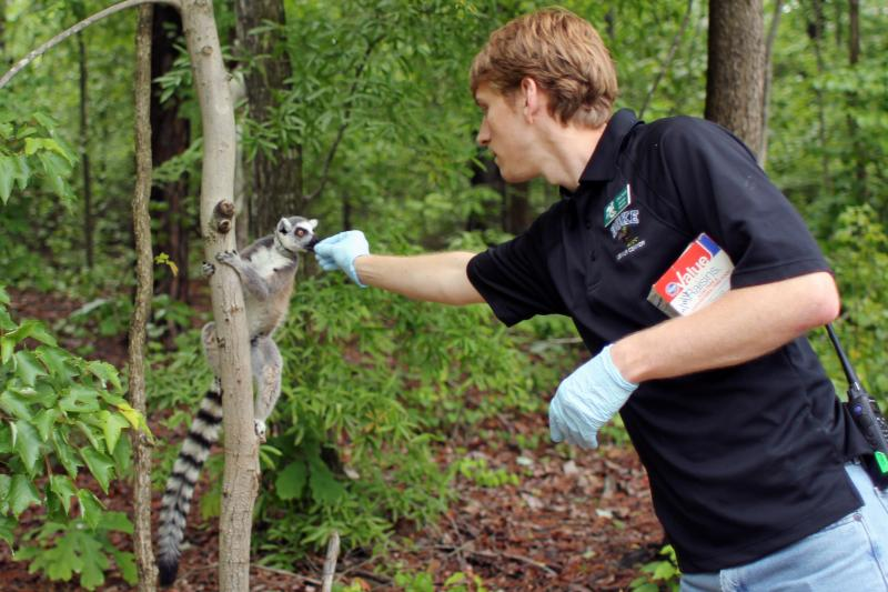 Duke Lemur Center Education Specialist Christ Smith feeds a ring-tailed lemur.