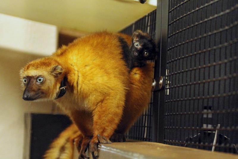 Blue-eyed black lemurs are a rare species at the Duke Lemur Center.