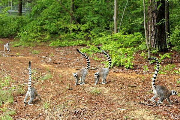 Ring-tailed lemurs at the Duke Lemur Center.