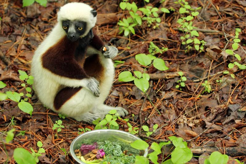 Jovian, a Coquerel's Sifaka lemur who played Zoboomafu in the popoular PBS series.