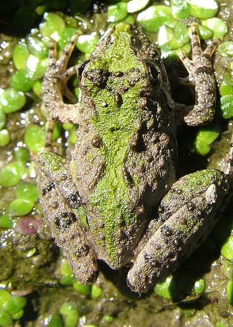 Southern Cricket Frog in Person County, NC.