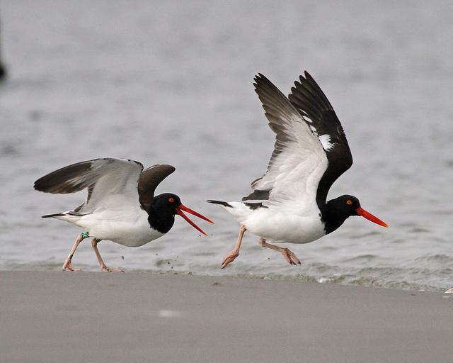 Two Oystercatchers walking along the shoreline at Oregon Inlet, NC