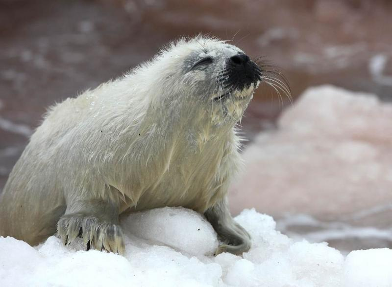 A seal pup on thin ice.