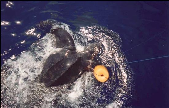A leatherback turtle hooked and entangled in a fishing net.