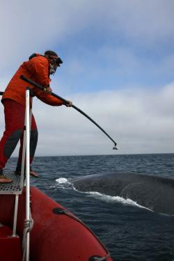Duke researcher Ari Friedlaender attaching a suction-cup tag to the back of a blue whale off the coast of southern California.