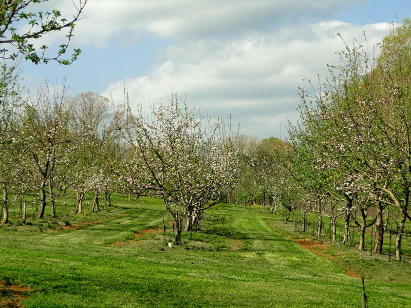 Horne Creek's Southern Heritage Apple Orchard has 400 varieties. Each tree in this photo is a different variety.