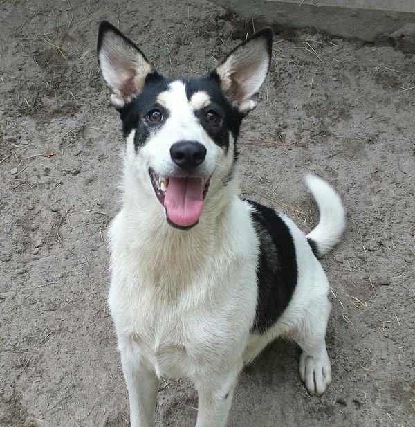 Pi, a Carolina Dog belonging to I. Lehr Brisbin.