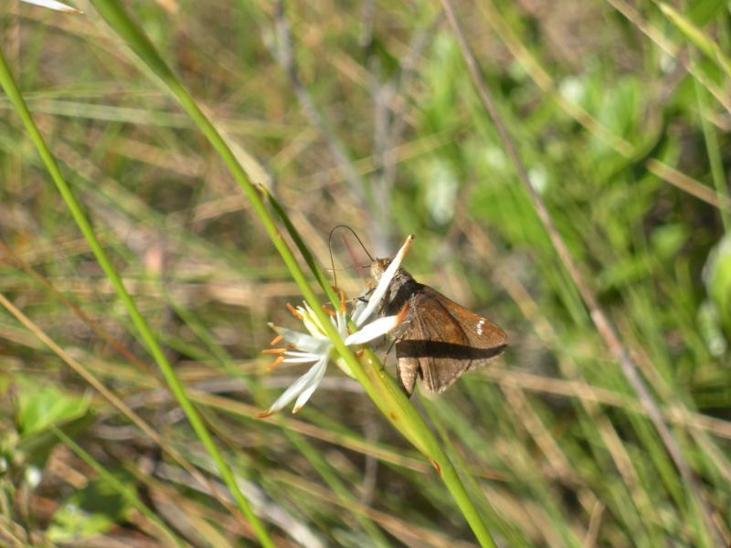 A cloudwing butterfly on pleea,a plant found only in the Southeastern US. In NC it is only found in four or five coastal counties in the Southeast