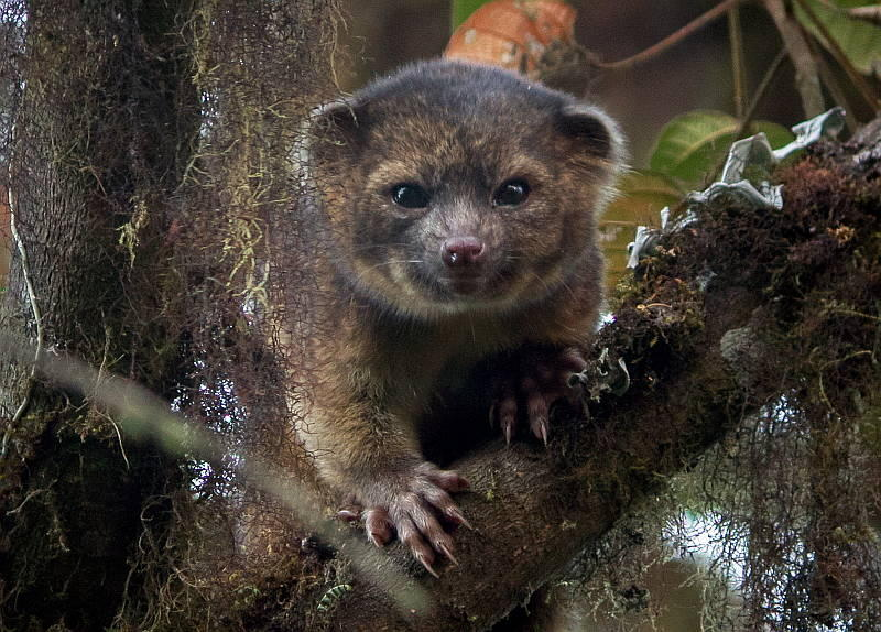 The olinguito is the first new species of carnivore discovered in the western hemisphere in 35 years.