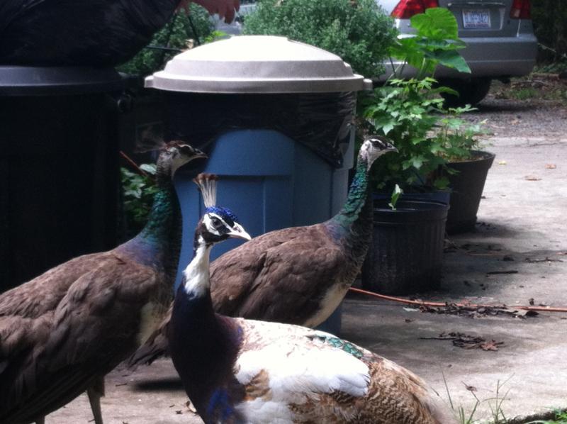 Peacocks at Noah's Landing in Coats, NC