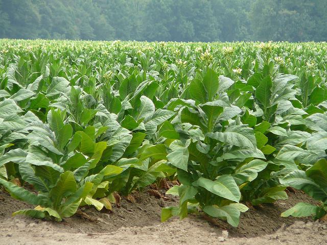 Photo: A tobacco farm in Eastern North Carolina