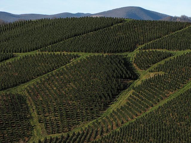 Great Harvest For NC Christmas Tree Farmers