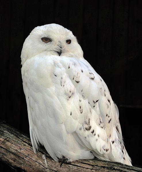 Male Snowy Owl in the Adlerwarte Berlebeck in Berlebeck, Detmold, Germany