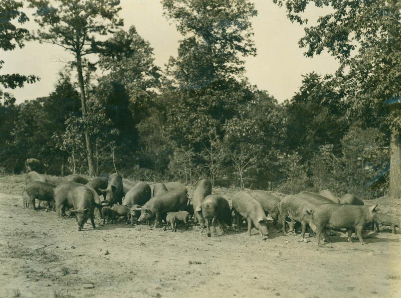 Reynolda had a state-of-the-art farm including hogs, sheep, dairy and more.
