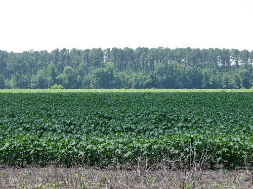 Sweet potato fields in Eastern NC.