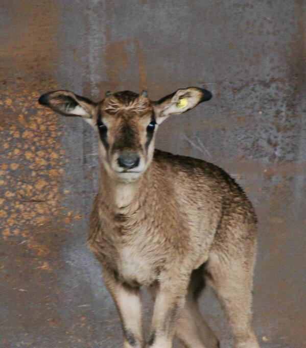 Brisket, a female oryx born Dec. 22, will be on exhibit. when the zoo re-opens
