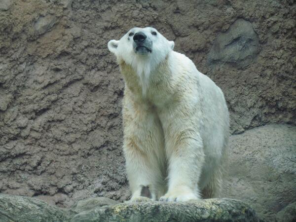 Patches the Polar Bear