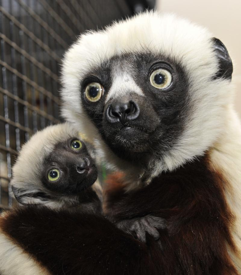 Duke's Lemur Center houses many couples and infant lemurs. Here, Jovian jolds his 2 week-old infant daughter born January 5, 2014