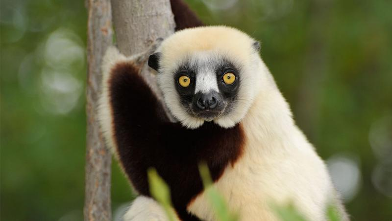 lemur with white head and body, brown arms and dark facial markings