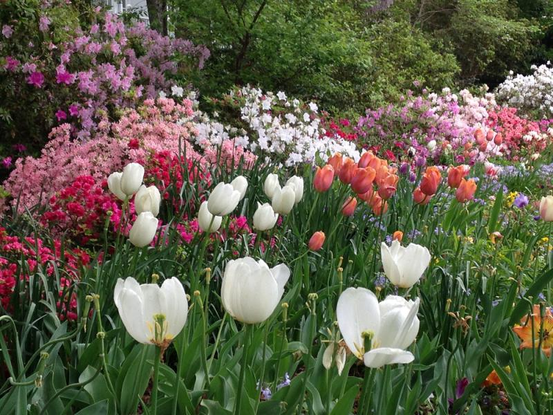 This garden is maintained by 99-year-old twin sisters. Each grouping of tulips is planted by a different neighbor.