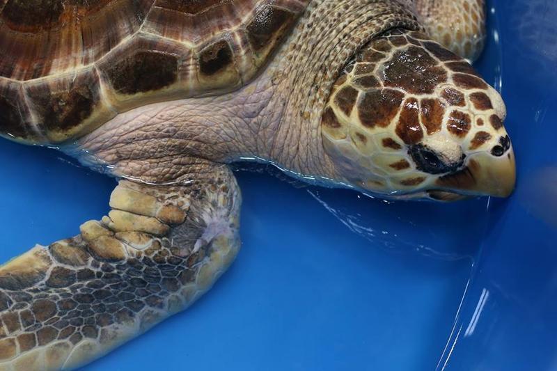 Nichols the loggerhead sea turtle