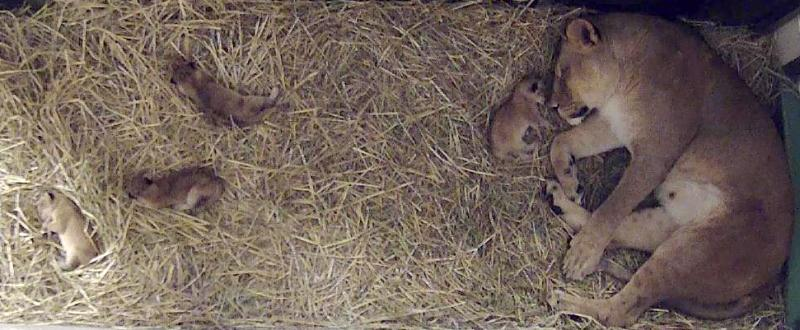 On July 30,2014 the North Carolina Zoo's female lion Mekita and male lion Reilly welcomed four cubs.