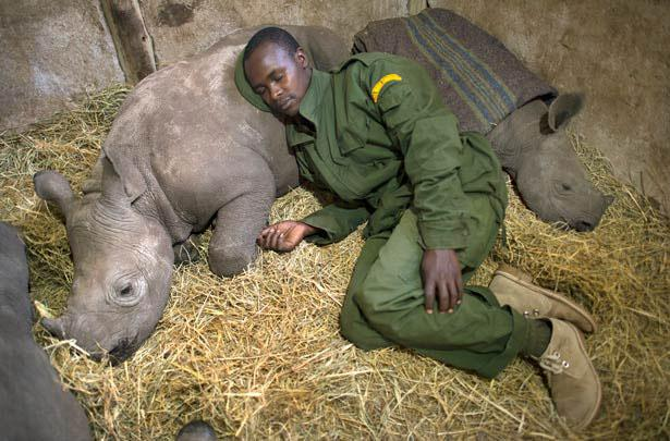 Orphaned baby southern white rhinos.