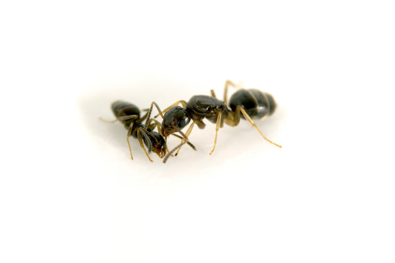 The odorous house ant (Tapinoma sessile) was the most common species found in parks and forests, but was absent in street medians.