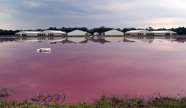 A hog waste lagoon in Beaufort County, NC.