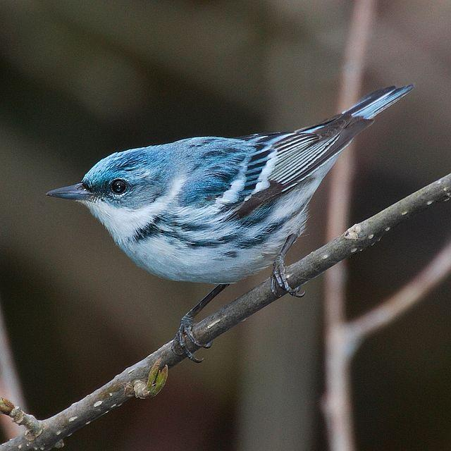 A picture of a cerulean warbler bird.
