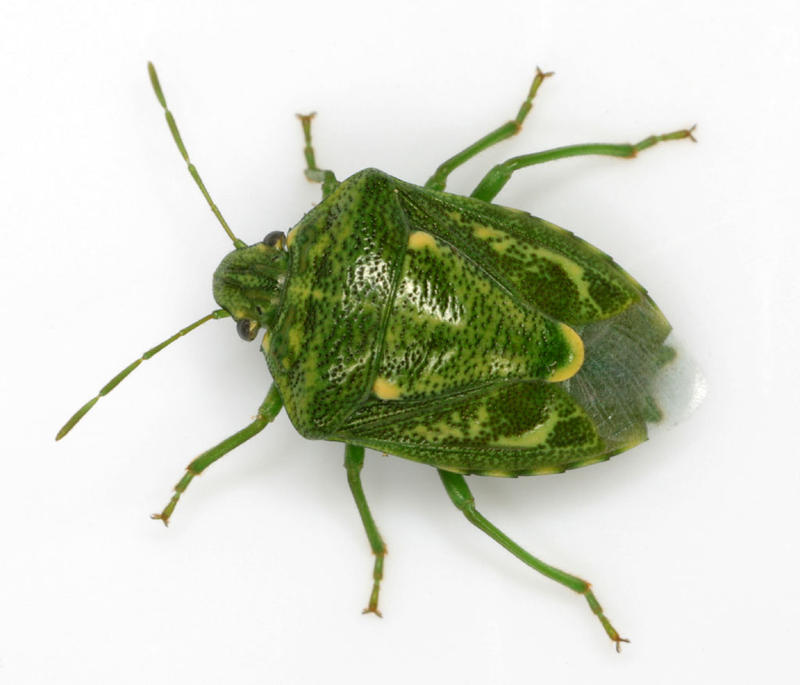 One of RTP's smaller businesses, AgBiome, does work with stinkbugs.