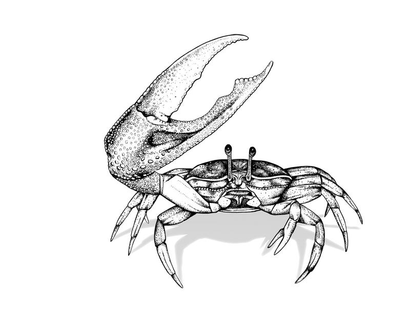 Male fiddler crabs wave their claws, using them as deterrents first and, only occasionally, as actual weapons.