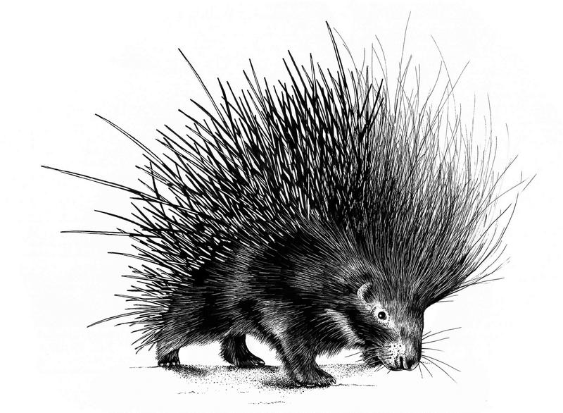 Porcupine spines are effective defensive weapons.