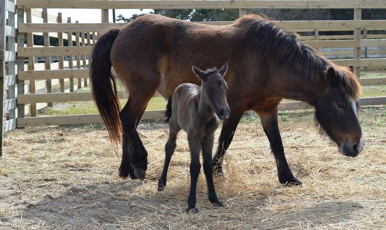 Hazelnut, newest member of the herd of ponies on Ocracoke, NC. Born born on February 4, 2015 at approximately 10:00 a.m.