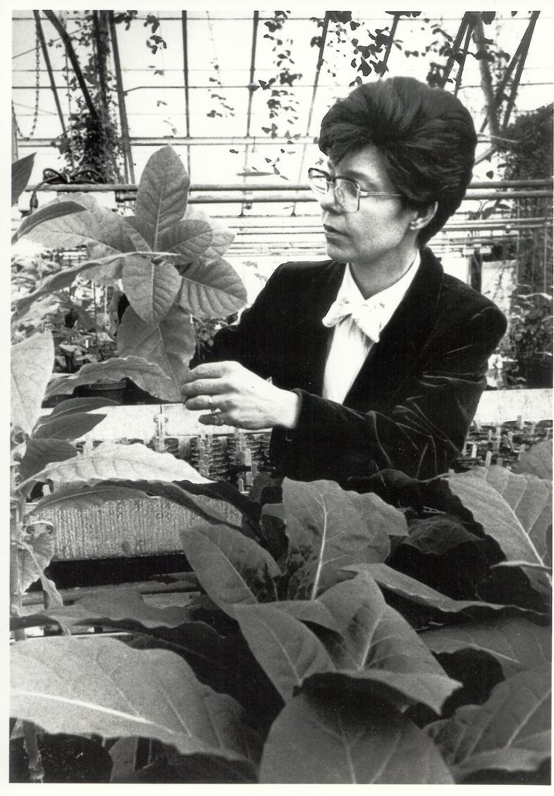 Mary-Dell Chilton examining tobacco plants in the greenhouse at Washington University in St. Louis.
